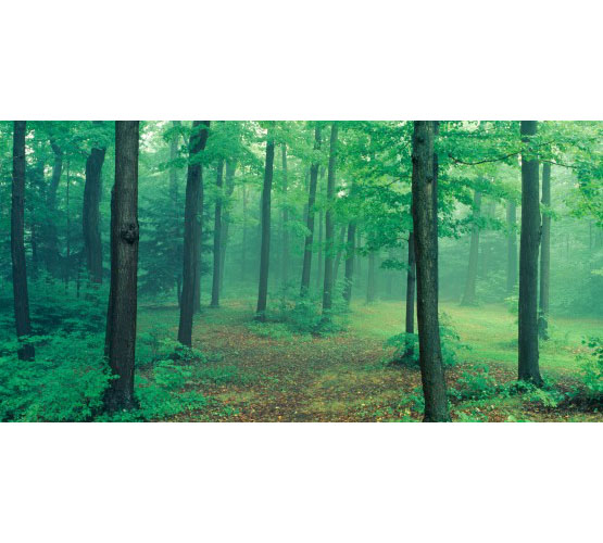 Biggies Wall Mural - Misty Forest - Large